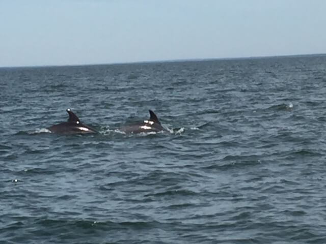I bukten kring Troia finns ett tjugotal delfiner. Här är några av dem.