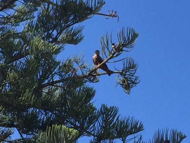 Det finns gott om fåglar här på Troia. Här sitter en hök i trädet!!!